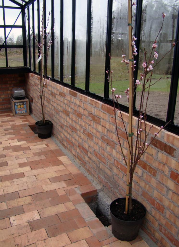 Kasvihuoneen ylpeys – persikat