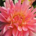 Daalia, fantastinen kukka.