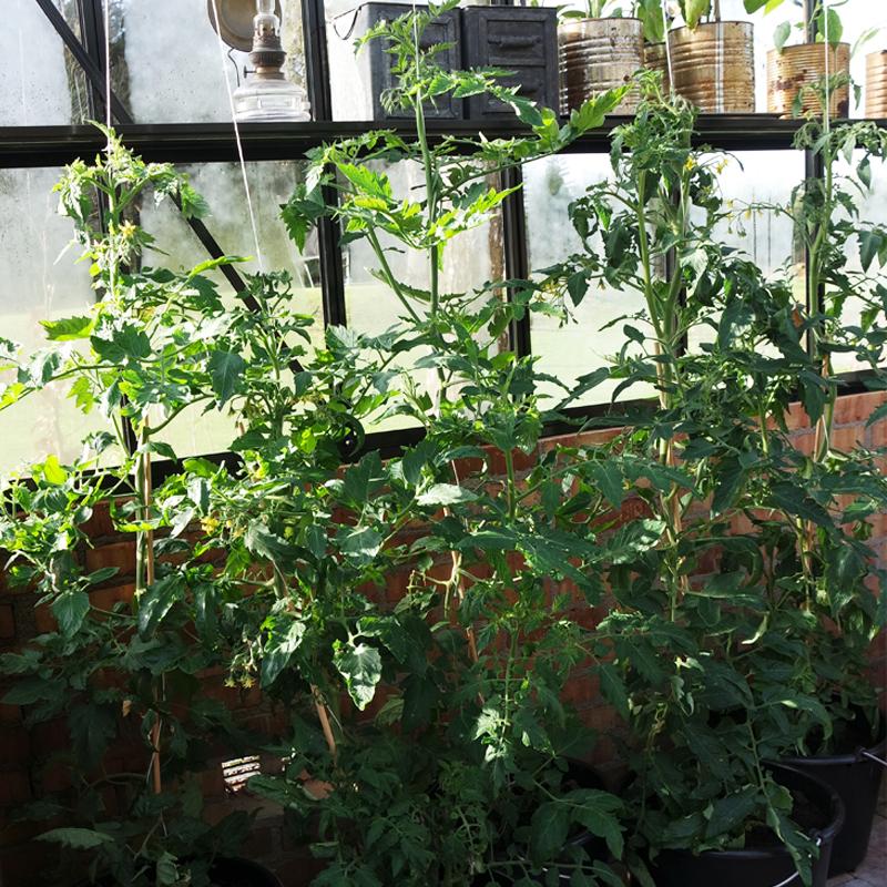Kasvata tomaatteja sangossa.