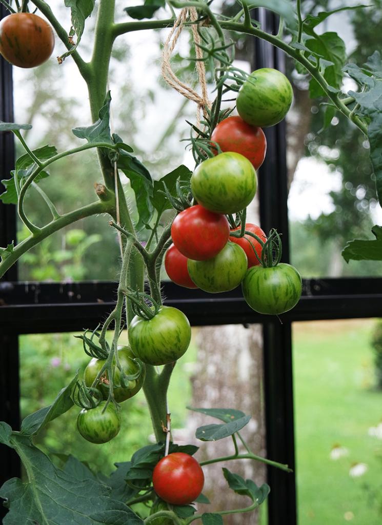 Tomaattien siirto